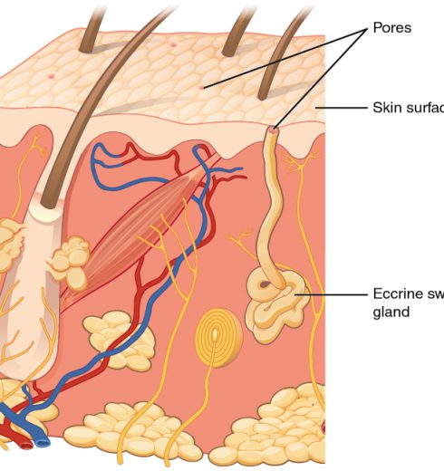 Which Human Glands Secrete An Oily Product That Softens The Skin And Hair?